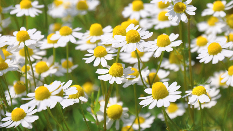 3 beneficial herbs for glowing skin